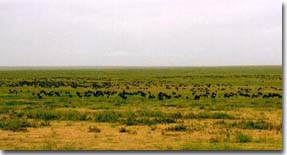 Wildebeest as far as the eye can see